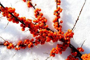 sea buckthorn pulp oil